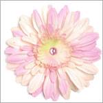 Z: Pale Pink Daisy Bloom